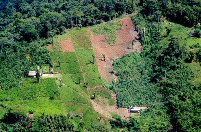 ONU ALERTA AUMENTO DE CULTIVOS DE COCA EN COLOMBIA